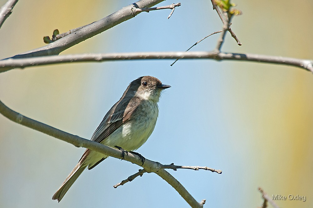 Willow Flycatcher (Empidonax traillii) by Mike Oxley