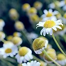 Camomile Herbs by Kasia-D