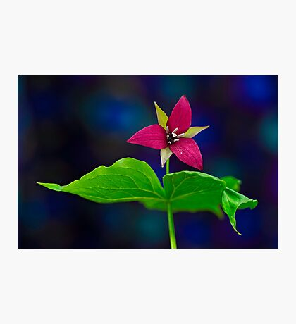 Red Trillium   Photographic Print