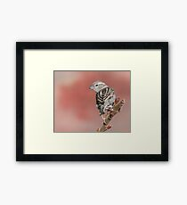 House Sparrow on Sumac Framed Print