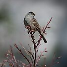 Golden-crowned Sparrow by DJ LeMay