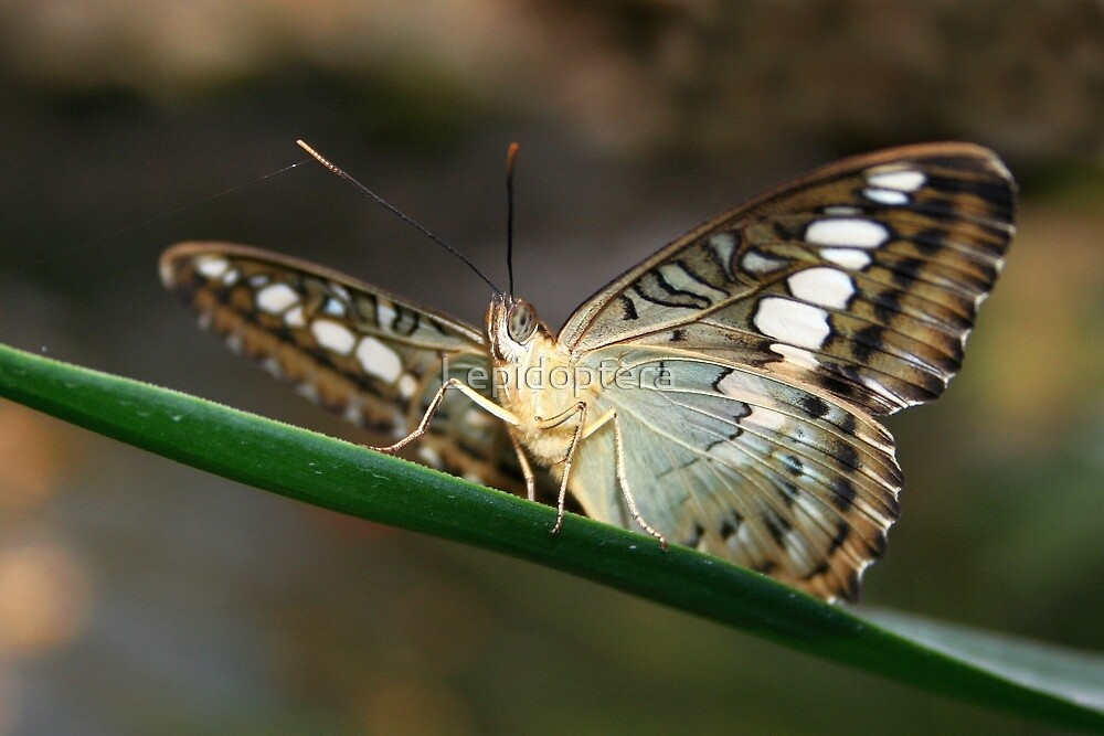 Under my Wings Clipper - Parthenos sylvia by Lepidoptera