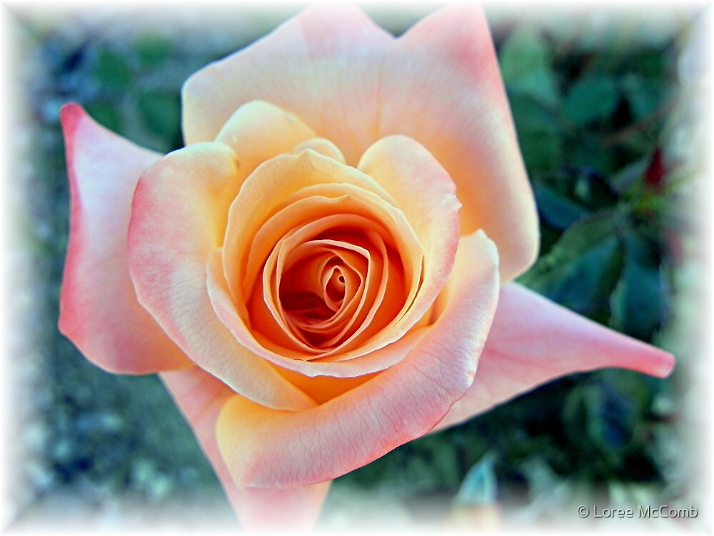 First Rose of The Season by © Loree McComb