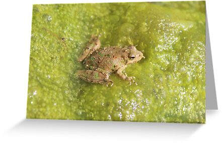 frog in pond by SusieG