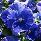 Blue Pansie by Lee d'Entremont
