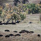 Buffalo Roundup 2 by Mary Carol Story