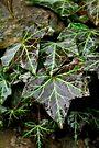 Glistening Ivy by Tiffany Dryburgh