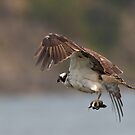 The Osprey Returns to the Nest with Food by David Friederich