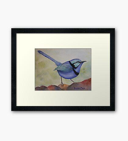 Splendid Blue Wren Framed Print