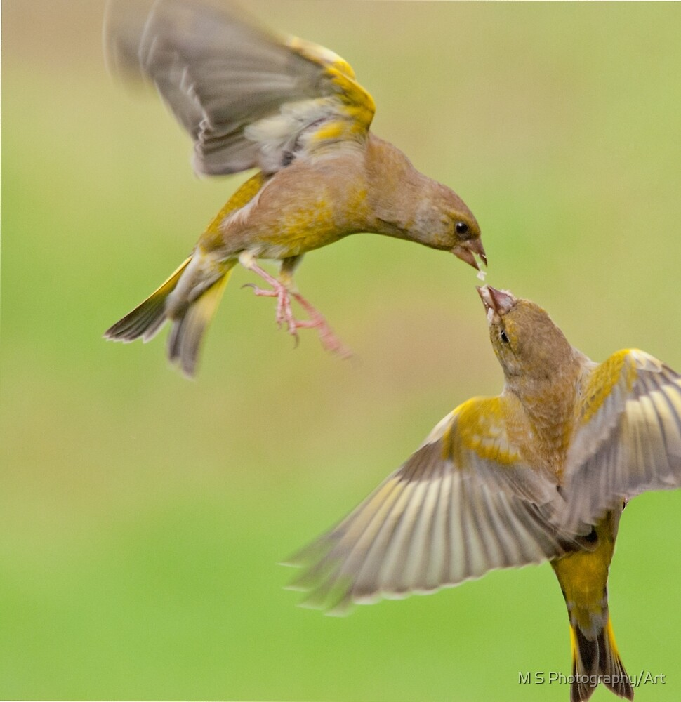 Greenfinches in flight by M S Photography/Art