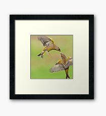 Greenfinches in flight Framed Print