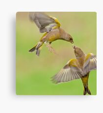 Greenfinches in flight Canvas Print