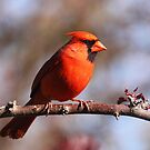 Northern Cardinal by naturalnomad