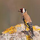 European Goldfinch  by Willem Hoekstra