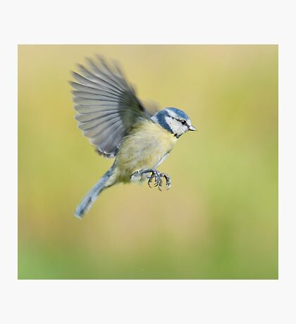 Blue tit ~ In flight Photographic Print
