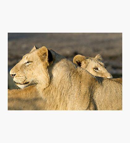 Lions Photographic Print