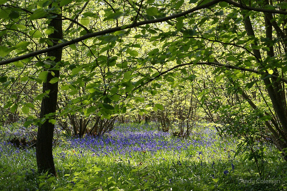 Bluebells near Sissinghurst in Kent by Andy Coleman