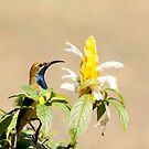 Handsome bloke - yellow bellied sunbird  by Jenny Dean