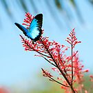 The beautiful Ulysses butterfly by Jenny Dean