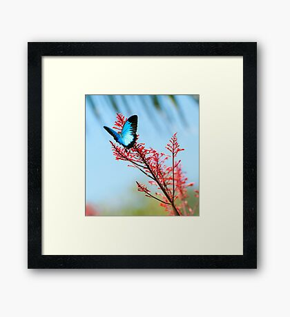 The beautiful Ulysses butterfly Framed Print