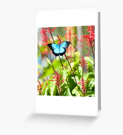 Tropical Treat - Ulysses butterfly Greeting Card