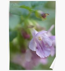 Showy Calamint Poster