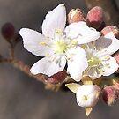 Dombeya Rotundifolia by Leoni Mullett