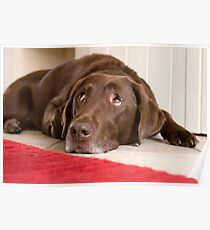 Chocolate Labrador Poster