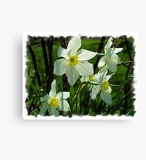 Transparent Daffodils Canvas Print