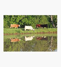 Four cows by pond, taken with a canon rebel t3i. taken in southeast missouri Photographic Print