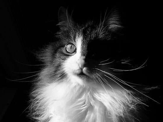 Whiskers ~  Shadows & Light ~ Captivated Cat by Chantal PhotoPix