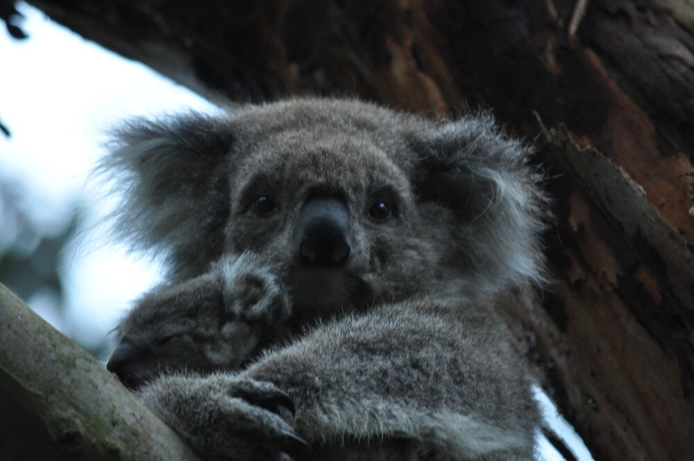 rock a bye koala by Elizabeth Fenton