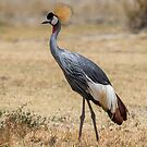 Grey Crowned Crane   by Neville Jones