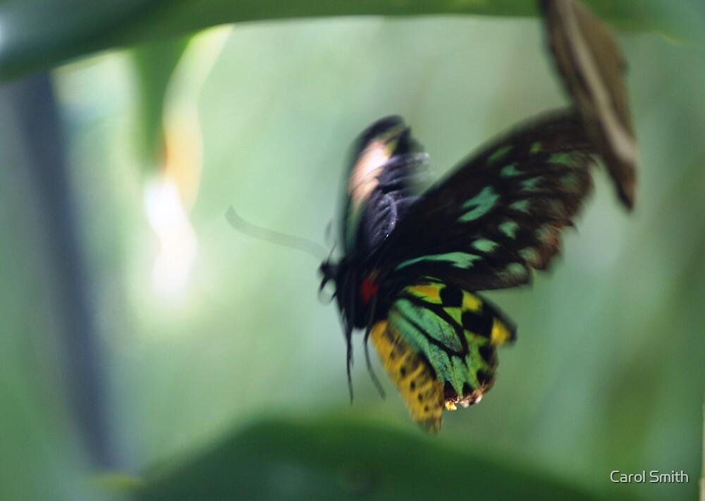 Cairns Birdwing in flight by cs-cookie