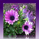 Pretty in Pink and Purple Cape Daisies von BlueMoonRose