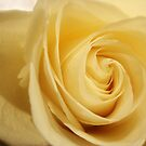 Yellow Rose  by Allison  Flores
