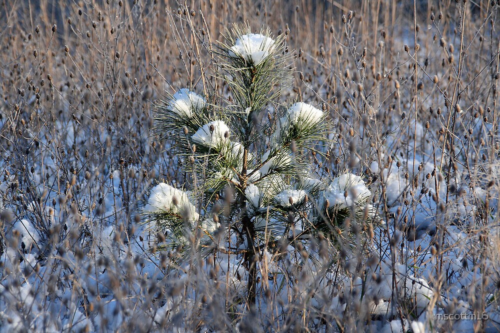 White Pine by mscottm16