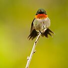 Ruby Throated Hummingbird Stare by Jean-Paul Fournier