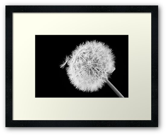 Dandylion study 1 by Clive  Wilson