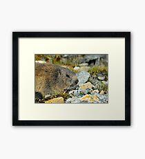 Wild Marmot Framed Print