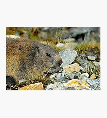 Wild Marmot Photographic Print