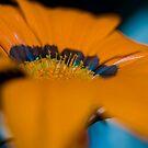 Orange Macro Flower by Steve Neville