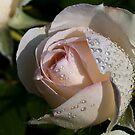 Pearls on the Rose by Karen Havenaar