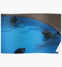 Seals looking at you Poster