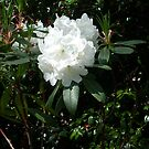 White Rhododendron Flowers  by Leyh