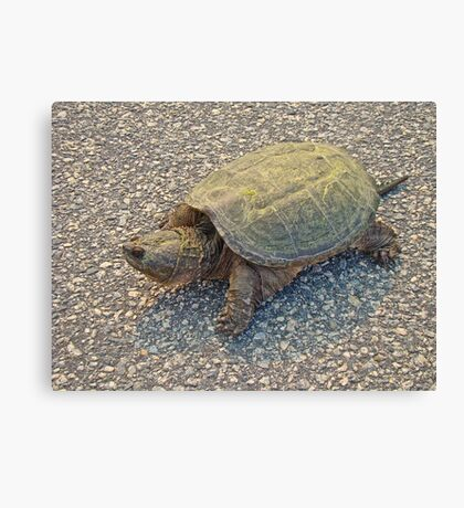 Common Snapping Turtle - Chelydra serpentina Canvas Print