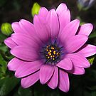 An Old Fashioned Girl - Soft and Velvety Cape Daisy von BlueMoonRose