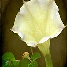 Angel's Trumpet ©  by Dawn Becker