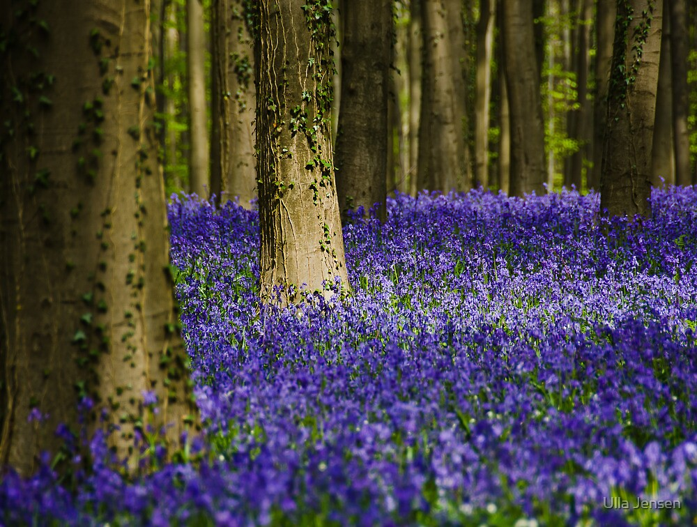 Blue carpet treatment - Hallerbos, Belgium by Ulla Jensen
