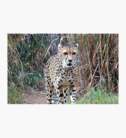 Kifani on the prowl Photographic Print